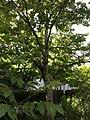 Cerisier-jardin-cordeliers.jpg