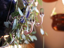Ceropegia linearis ssp. woodii2