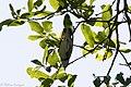 Cerulean Warbler (male) Smith Oaks High Island TX 2018-04-17 14-48-00 (40141005090).jpg