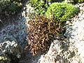Cetraria aculeata habito.jpg