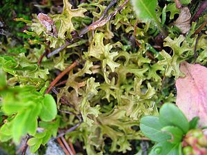 Iceland moss - Iceland Moss