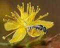 Ceylalictus variegatus female 1.jpg