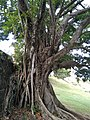 Château Dubuc - grand arbre.jpg