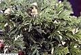 Chamaecyparis pisifera Silver Lode 1zz.jpg