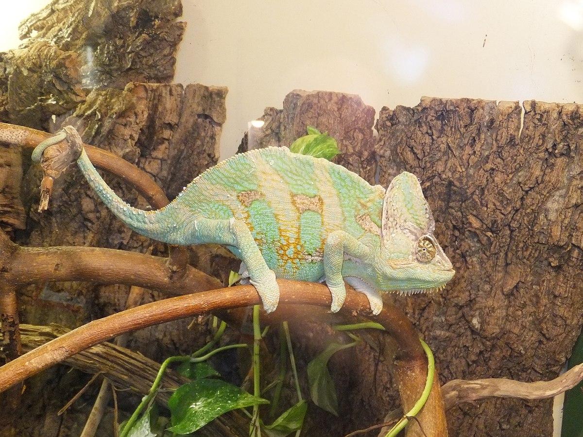 veiled chameleon  wikipedia