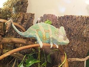 Veiled chameleon - Image: Chamaeleo calyptratus Esapolis 01