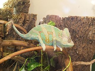 Veiled chameleon Species of reptile