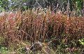 Chamerion angustifolium20090914 116.jpg