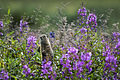 Chamerion angustifolium - Arctic Ground Squirrel (7945503796).jpg