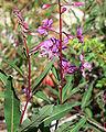 Chamerion angustifolium ssp circumvagum 4.jpg