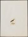 Charadrius geoffroyi - 1820-1860 - Print - Iconographia Zoologica - Special Collections University of Amsterdam - UBA01 IZ17200111.tif