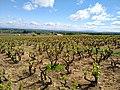 Charentay - Vue de vignes de Beaujolais en avril 2019.jpg