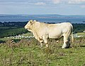 Charolais Bull on Culver Down - geograph.org.uk - 57291.jpg