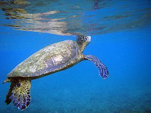 English: Green Sea Turtles, Chelonia mydas bre...
