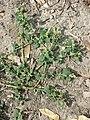 Chenopodium vulvaria sl60.jpg