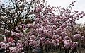 """Cherry-Blossom-Viewing through the """"Tunnel"""" at Japan Mint in 201504 036.JPG"""
