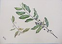 Cherry Laurel (Mock Orange) Bough MET SFcs54312007a.jpg