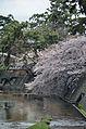 Cherry blossom 2011 (5641572384).jpg