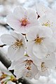 Cherry blossom near Zenpukuji river, Tokyo; March 2008 (02).jpg