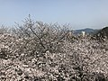 Cherry blossoms in Sasayama Park 22.jpg