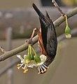 Chestnut-tailed Starling (Sturnus malabaricus) feeding on Kapok (Ceiba pentandra) in Kolkata W IMG 3957.jpg