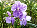 Chiang Mai Orchids P1110356.JPG