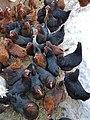 Chickens 3.jpg