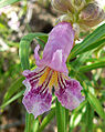 Chilopsis linearis 6.jpg