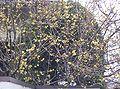 Chimonanthus praecox6.jpg