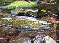 Chinook salmon 28591233435.jpg