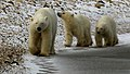 Chocolate the polar bear and her cubs (6355814053).jpg