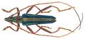 Chromalizus aureovittis (Kolbe, 1893) Male (31044337254).png