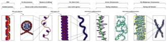 "Chromatin - The major structures in DNA compaction: DNA, the nucleosome, the 10 nm ""beads-on-a-string"" fibre, the 30 nm chromatin fibre and the metaphase chromosome."