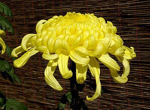 National symbols of Japan - Chrysanthemum morifolium flower