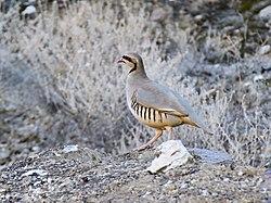 Chukar Partridge (Alectoris chukar) (39660989151).jpg