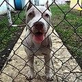 Cielo (American Pitubull Terrier).jpg