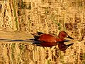 Cinnamon Teal - Flickr - treegrow.jpg