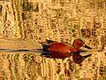 Cinnamon Teal - Flickr - treegrow.jpg