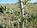 Cirsium flodmanii (26972396633).jpg