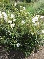 Cistus cyprius 'Common Gum Cistus' (Cistaceae) plant.JPG