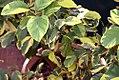 Citrus limon Sungold 0zz.jpg