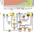 Citrus phylogeny 1.jpg