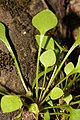 Claytonia perfoliata 6638.JPG
