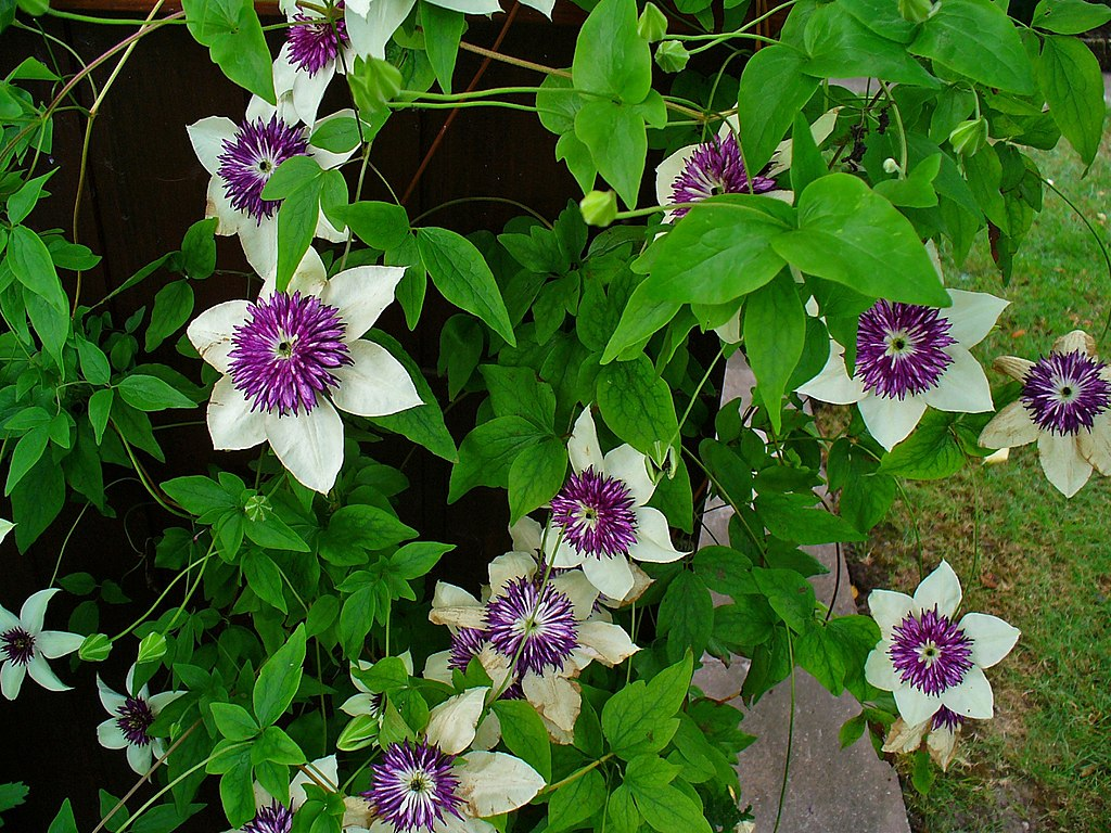 File clematis florida 39 sieboldii 39 001 jpg wikimedia commons for Clematis florida