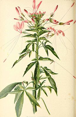 Cleome spinosa з книги The native flowers and ferns of the United States in their botanical, horticultural, and popular aspects