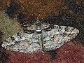 Cleora cinctaria - Ringed carpet - Дымчатая пяденица весенняя (27051088518).jpg