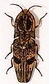 Click Beetle (Lycoreus regalis) (8541897462).jpg