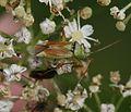 Closterotomus norvegicus - Flickr - S. Rae.jpg