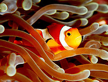 Анемон балығы (Amphiprion ocellaris).