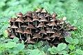 Clustered Bonnet 2 (36750106066).jpg
